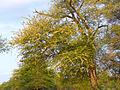 Delagoa Thorn (Acacia welwitschii) (11451399583).jpg