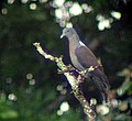 Delegorgues Pigeon (Columba delegorguei) in tree.jpg