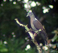 Delegorgues Pigeon (Columba delegorguei) in tree