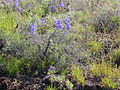 Delphinium andersonii (4412526268).jpg