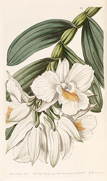 Dendrobium formosum - Edwards vol 25 (NS 2) pl 64 (1839).jpg