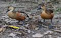 Dendrocygna arcuata -Australia Zoo, Queensland, Australia-8a.jpg