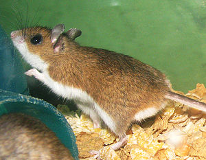 Organisms at high altitude -  The deer mouse