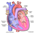 Diagram of the human heart (cropped) de.svg
