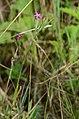 Dianthus armeria 01.jpg