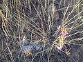 Dianthus carthusianorum subsp. carthusianorum5m.jpg