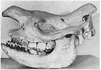 Western black rhinoceros - Holotype specimen, a female shot in 1911