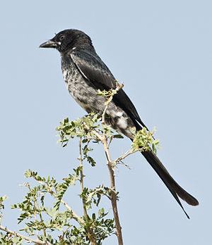 Tal Chhapar Wildlife Sanctuary - An immature Black Drongo at Tal Chhapar Wildlife sanctuary.