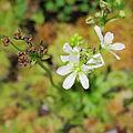 Dionaea muscipula-IMG 0252.jpg