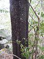 Diospyros ebenum trunk,.jpg