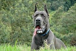 chien aux grandes oreilles