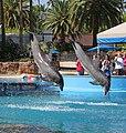Dolphins 3 (15563305465).jpg