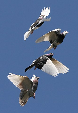 Bird flight - A flock of domestic pigeons each in a different phase of its flap.