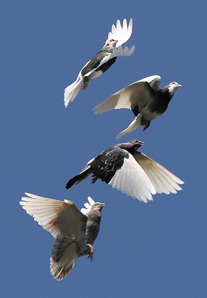 File:Domestic Pigeon Flock.jpg