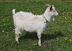 Domestic goat 2017 G3.jpg