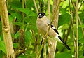 Domherre Eurasian Bullfinch (20164083979).jpg