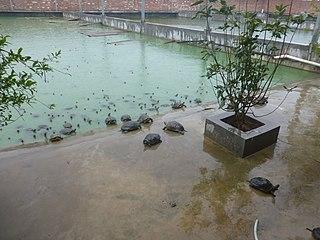 Turtle farming