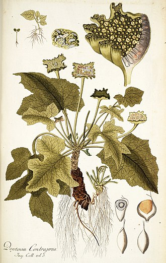 Dorstenia - Dorstenia contrajerva, the type species, by von Jacquin, 1793.