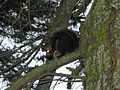 Douglas Squirrel, Tamiasciurus douglasi - Flickr - GregTheBusker.jpg