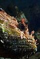 Drachenkopf-scorpaena-porcus.jpg