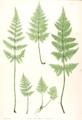 Dryopteris dilatata Moore26.png