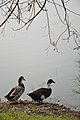 Duck Pair - Santragachi Jheel - Howrah 2017-12-25 5709.JPG