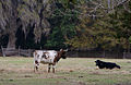 Dudley Farm Cracker Cattle.jpg