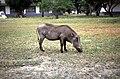 Dunst Etosha Oct 2002 slide223 - Warzenschwein.jpg