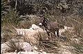 Dunst Oman scan0145 - Esel.jpg