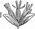 EB1911 - Grasses Fig. 19.jpg