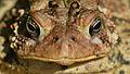 Eastern American Toad (Anaxyrus americanus americanus) - London, Ontario 02.jpg