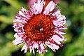 Echinacea purpurea Fancy Frills 1zz.jpg