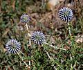 Echinops - Flickr - S. Rae.jpg