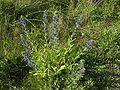 EchiumVulgare-plant1-hr.jpg