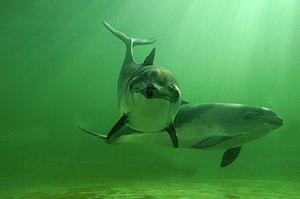 Zwei Gewöhnliche Schweinswale (Phocoena phocoena)