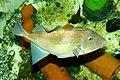 Ecomare - grijze trekkervis (trekkervis-ecomare 02-sd).jpg