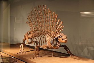 Edaphosaurus - E. pogonias mount at the Field Museum