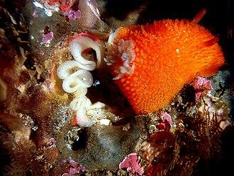 Egg - Orange-peel doris (Acanthodoris lutea), a nudibranch, in tide pool laying eggs