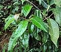 Ehretia laevis 02.JPG