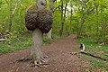 Ek med vril, Vickleby ädellövskog.jpg