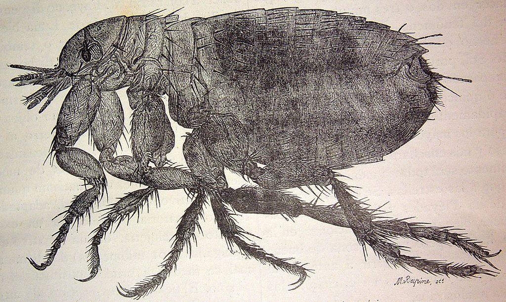 """El mundo físico, 1882 """"Una pulga, copia de una fotografía microscópica"""" (4052595792)"""