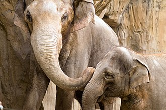 Oregon Zoo - Packy (left) and Rose-Tu, two Asian elephants at the Oregon Zoo