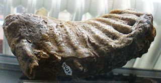 Cyprus dwarf elephant species of mammal (fossil)