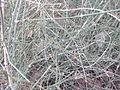 Ephedra ciliata-BSI-jodhpur-Inida.JPG