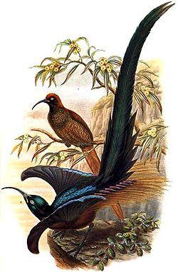 Epimachus meyeri by Bowdler Sharpe.jpg