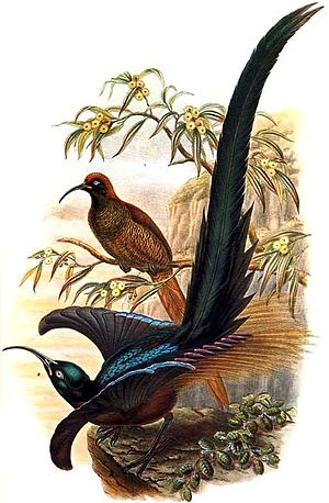 Brown sicklebill - Image: Epimachus meyeri by Bowdler Sharpe