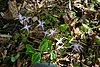 Epimedium grandiflorum 'Swallowtail' 001.JPG
