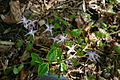 Epimedium grandiflorum 'Swallowtail' 001.JPG