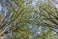Er groeien weer bladeren aan de bomen in het mallebos.jpg