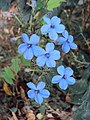 Eranthemum capense at Nedumpoil (15).jpg